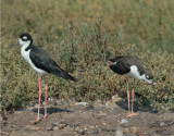 Black-necked Stilts, adult male (L)  and juvenile