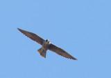 Birds--Campus bird walk, Stanford, October 15, 2017