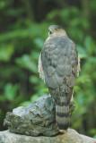 Cooper's Hawk, female