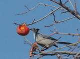 California Scrub-Jay, at persimmon tree