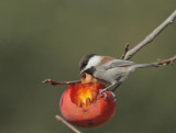 Chestnut-backed Chickadees