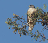 Red-tailed Hawks