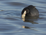 American Coot, with clam