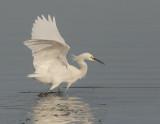 Snowy Egret foraging, Shoreline Lake, December 25, 2017