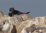 Birds -- Monterey Bay, New Year 2018