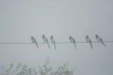 Yellow-billed Magpies, in fog