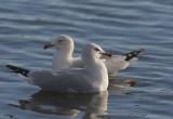Ring-billed Gulls, courting pair