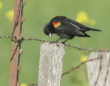 Red-winged Blackbird, male, typical