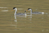 Clark's Grebes, courting pair