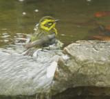 Townsend's Warbler, female