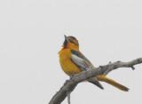 Birds--Birdathon, April 2018