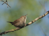 House Wren, perched