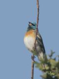 Lazuli Bunting, male, singing