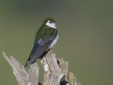 Violet-green Swallow, male