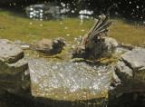 Dark-eyed Juncos, Oregon, fledglings