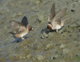 Cliff Swallows, gathering mud for nests