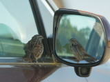 Song Sparrow, mirrored