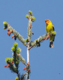 Western Tanager, male