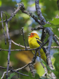 Western Tanager, male singing