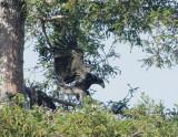 Bald Eagles, nestlings