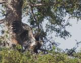 Bald Eagle, nestling