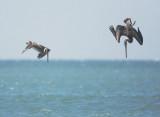 Brown Pelicans, diving
