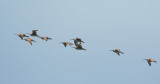 Whimbrels, flying