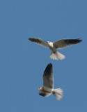 White-tailed Kites, adult and juvenile