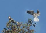White-tailed Kites, juvenile
