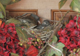 Dark-eyed Juncos, Oregon, adult and two nestlings, 2018