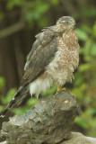Cooper's Hawk, after bath