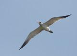 Caspian Tern, juvenile