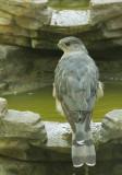 Cooper's Hawk, male