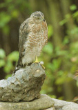 Cooper's Hawk, second cycle