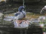 California Scrub-Jay, bathing