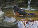 Spotted Towhee, female bathing