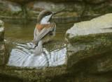 Chestnut-backed Chickadee, bathing