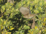 White-crowned Sparrow, first-cycle, flying