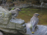 Cedar Waxwings, adult (R) and first-cycle