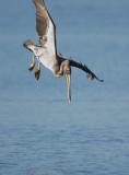 Brown Pelican, diving 1