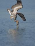 Brown Pelican, diving 2