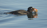 Surf Scoter, male with shellfish