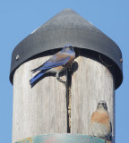 Western Bluebirds, pair