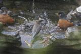 Cedar Waxwing with American Robins