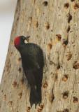 Acorn Woodpecker, at granary tree