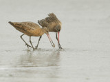 Marbled Godwits, competing for food