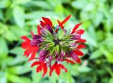 cardinal flower 368