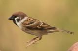 eurasian_tree_sparrow