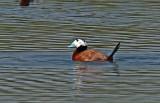 Ducks Spain