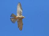 Falcon Families